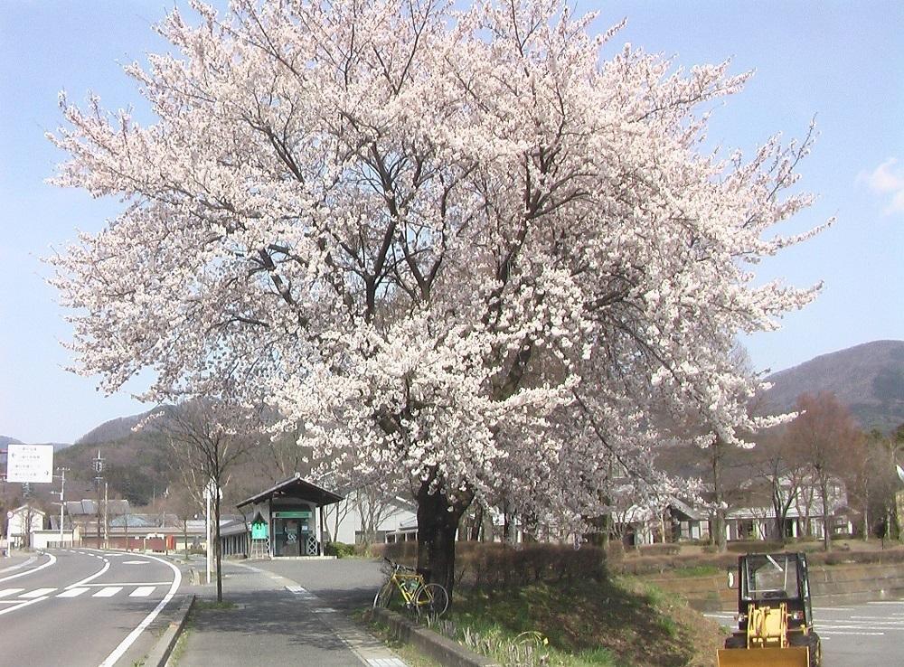 桜が咲いた_c0335218_08445047.jpg