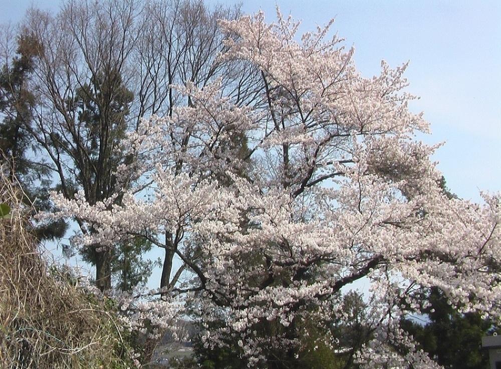 桜が咲いた_c0335218_08453049.jpg