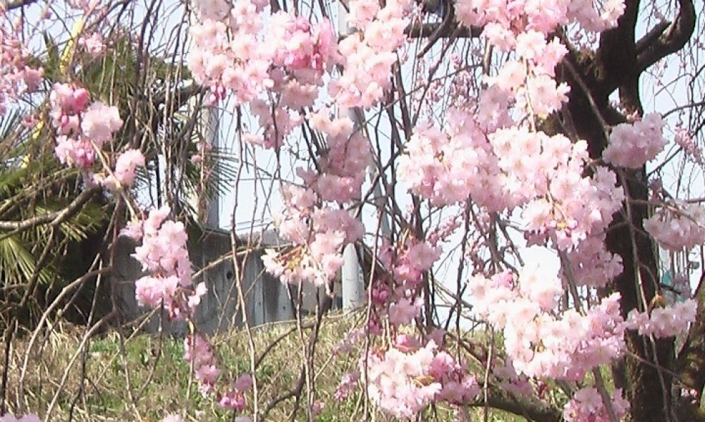 桜が咲いた_c0335218_08455101.jpg