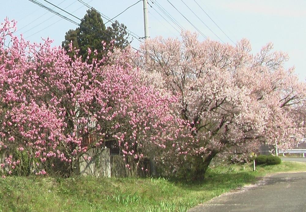桜が咲いた_c0335218_08460708.jpg