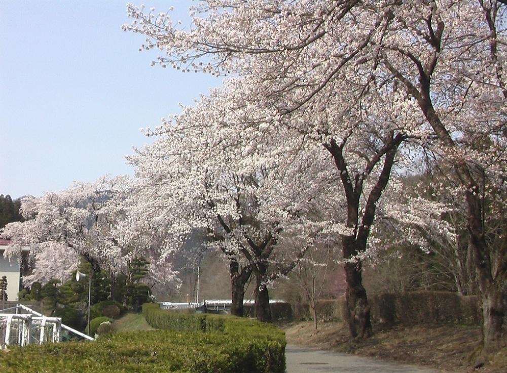 桜が咲いた_c0335218_08473201.jpg