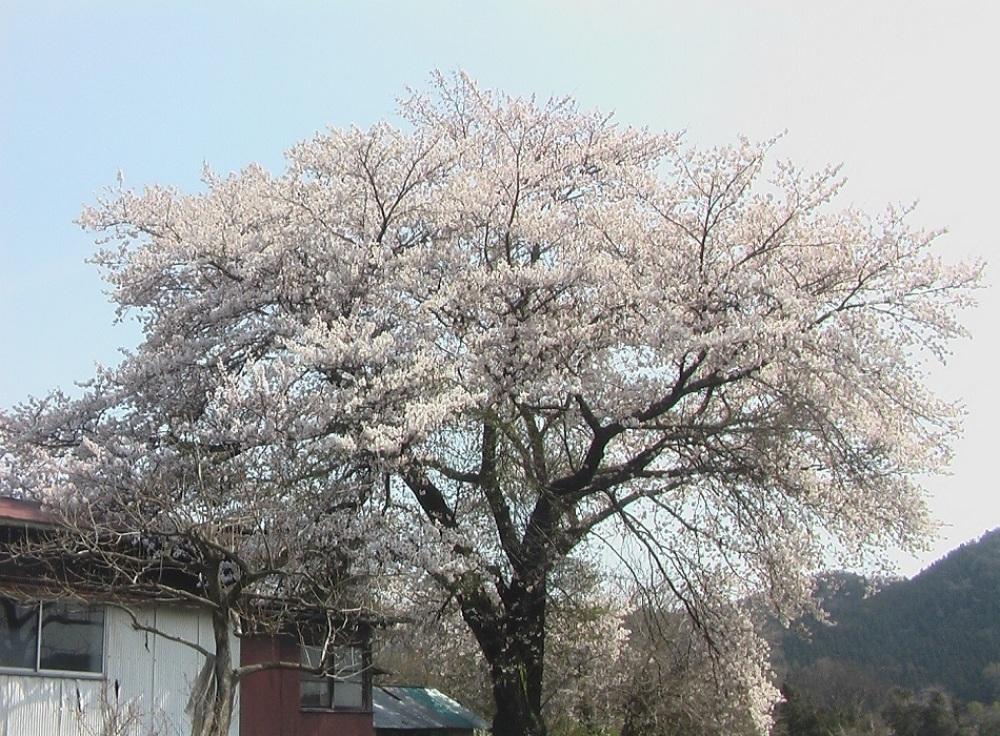 桜が咲いた_c0335218_08475099.jpg