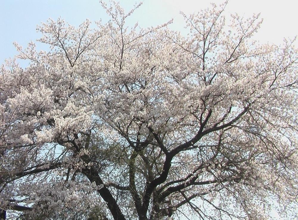 桜が咲いた_c0335218_08484056.jpg