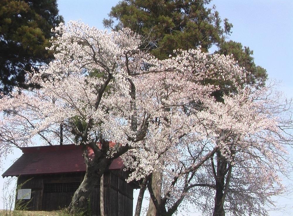 桜が咲いた_c0335218_08494286.jpg