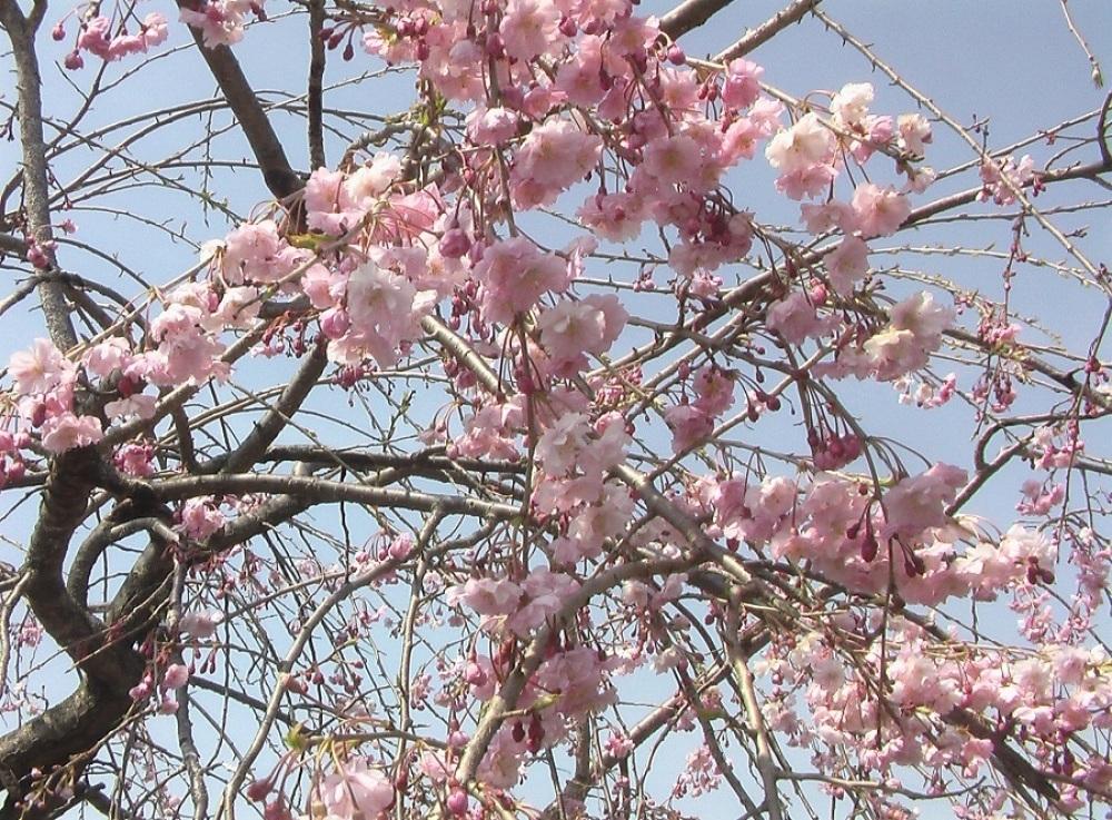 桜が咲いた_c0335218_08502314.jpg