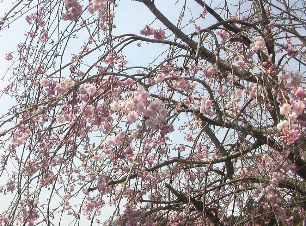 桜が咲いた_c0335218_08504489.jpg