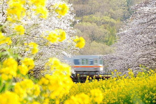 4月4日 桜と菜の花に彩られる列車たち_f0037227_20451522.jpg