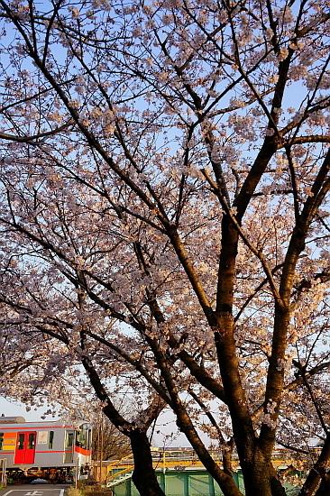 4月4日 桜と菜の花に彩られる列車たち_f0037227_20451623.jpg