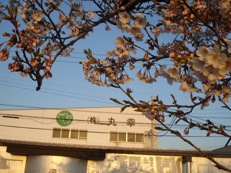 本社の前の桜が咲き始めました。_d0149129_17172365.jpg