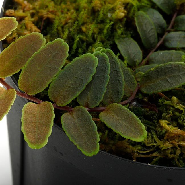 New arrival plants | マルクグラビア、サウバゲシア、ジュエルオーキッドなどなど、と新型コロナウイルス_d0376039_19335551.jpg