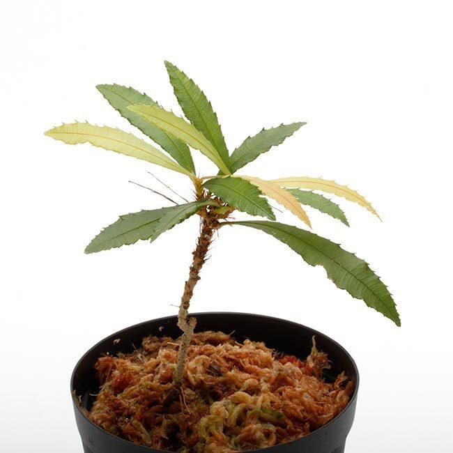New arrival plants | マルクグラビア、サウバゲシア、ジュエルオーキッドなどなど、と新型コロナウイルス_d0376039_19500388.jpg
