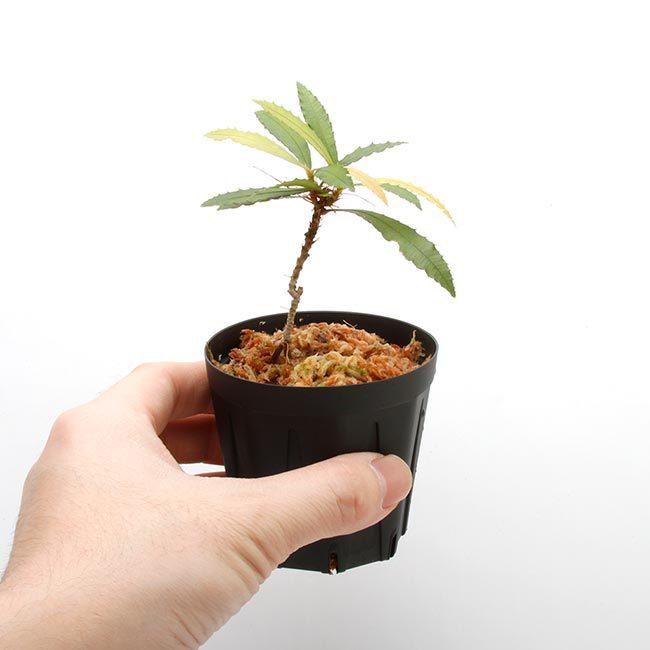 New arrival plants | マルクグラビア、サウバゲシア、ジュエルオーキッドなどなど、と新型コロナウイルス_d0376039_19512778.jpg