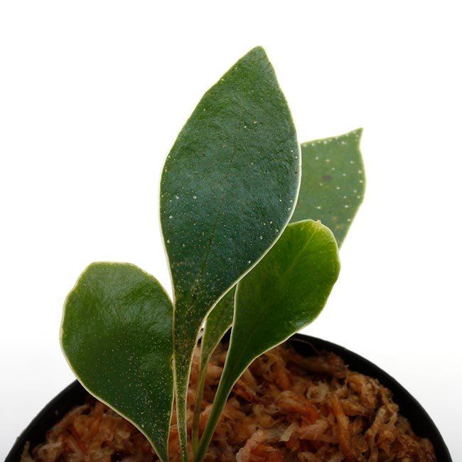 New arrival plants | マルクグラビア、サウバゲシア、ジュエルオーキッドなどなど、と新型コロナウイルス_d0376039_20174857.jpg