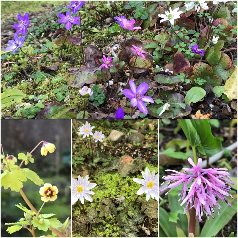 春の妖精たち イチリンソウ_c0144185_1412876.jpg