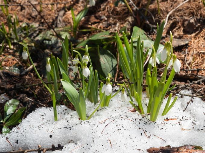 春を告げる花・スノードロップが雪の中から開花しました。_f0276498_16004019.jpg