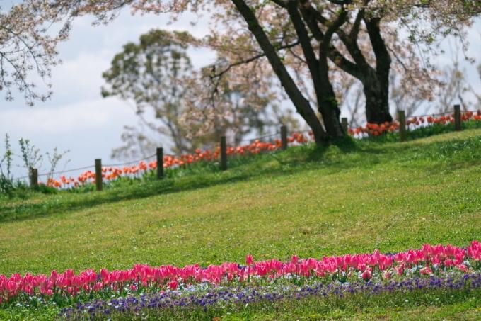 馬見丘陵公園のチュウ-リップ_b0408917_21005080.jpg