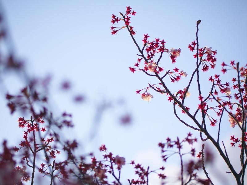 陽光桜、その後_e0169421_22004710.jpg
