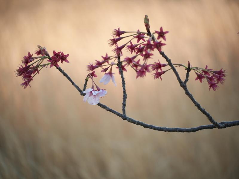 陽光桜、その後_e0169421_22004725.jpg