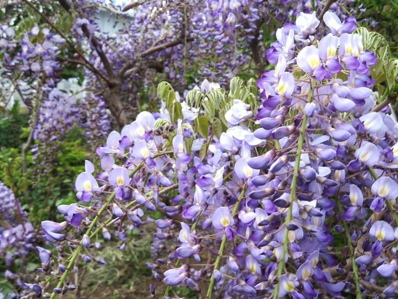 庭の藤の花_b0089338_21271999.jpg