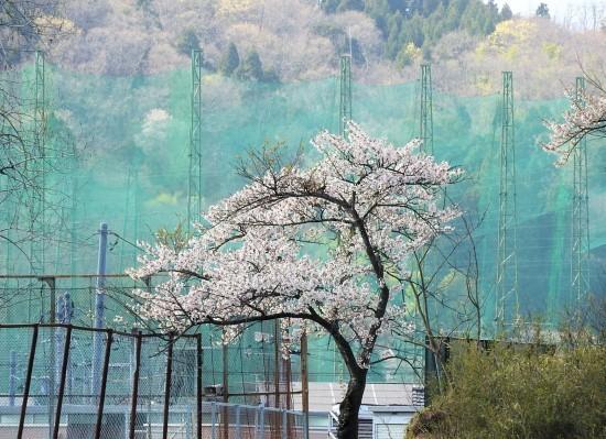 護られている桜_e0406450_13204884.jpg