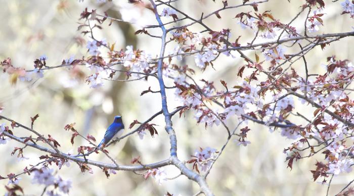 待ちきれない桜とオオルリ_c0217255_06523689.jpg