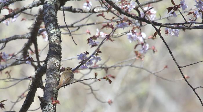 待ちきれない桜とオオルリ_c0217255_06524094.jpg