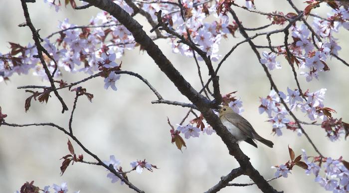 待ちきれない桜とオオルリ_c0217255_06524327.jpg