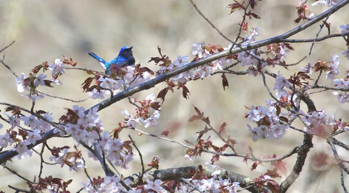 待ちきれない桜とオオルリ_c0217255_06524839.jpg