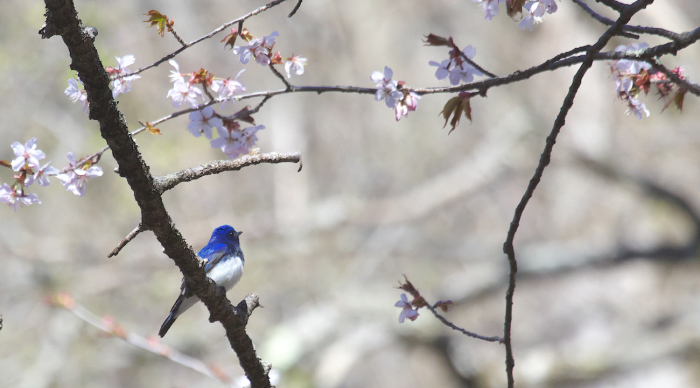 待ちきれない桜とオオルリ_c0217255_06525149.jpg