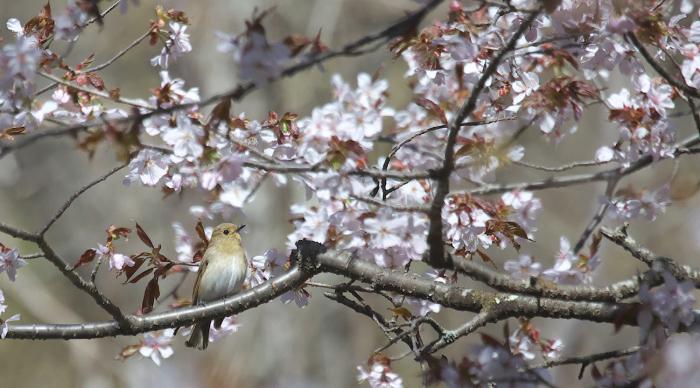 待ちきれない桜とオオルリ_c0217255_06525714.jpg