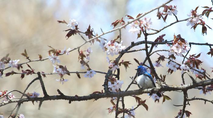 待ちきれない桜とオオルリ_c0217255_06530189.jpg