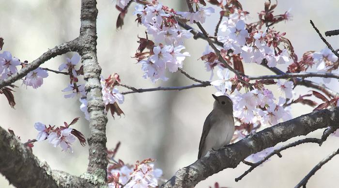 待ちきれない桜とオオルリ_c0217255_06530490.jpg