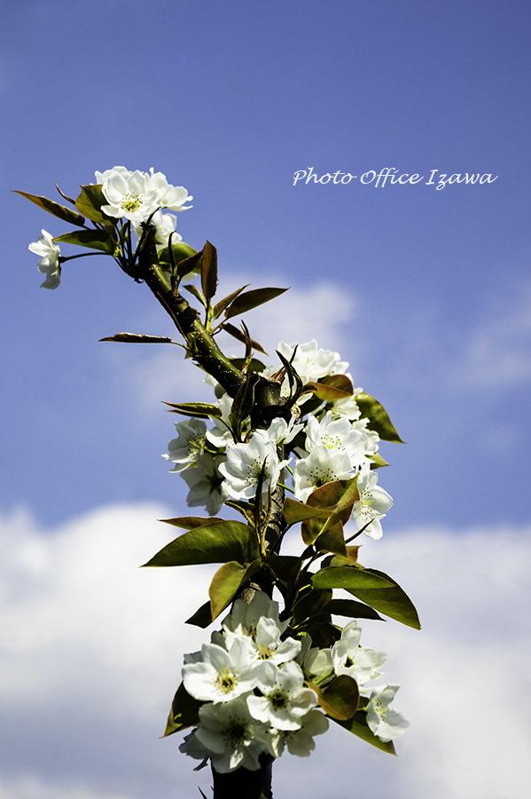 「桜の後は、梨の花」_c0181958_14524555.jpg