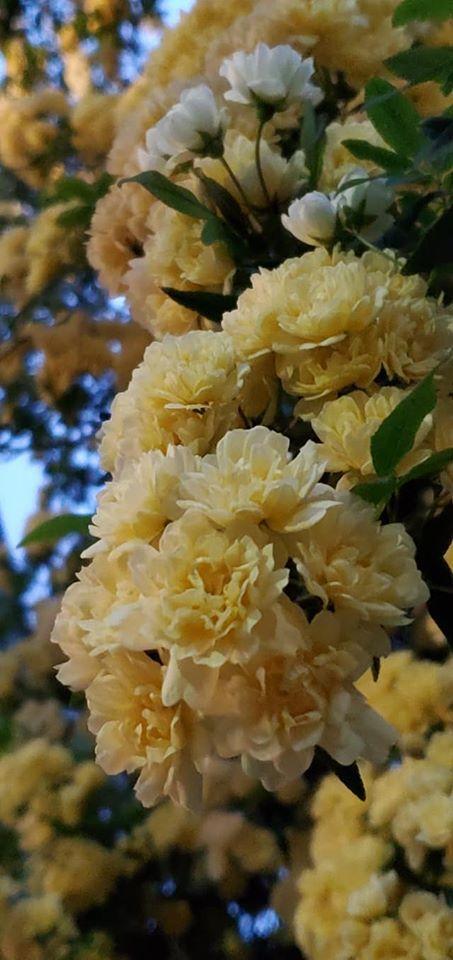 緊急事態宣言9日目。。。4月16日は。。。もっこう薔薇優しく微笑んで。。。天国の息子 LUCA 康司の お誕生日です。。。☆*+☆+☆*。。。 *。:☆.。†_a0053662_00002651.jpg