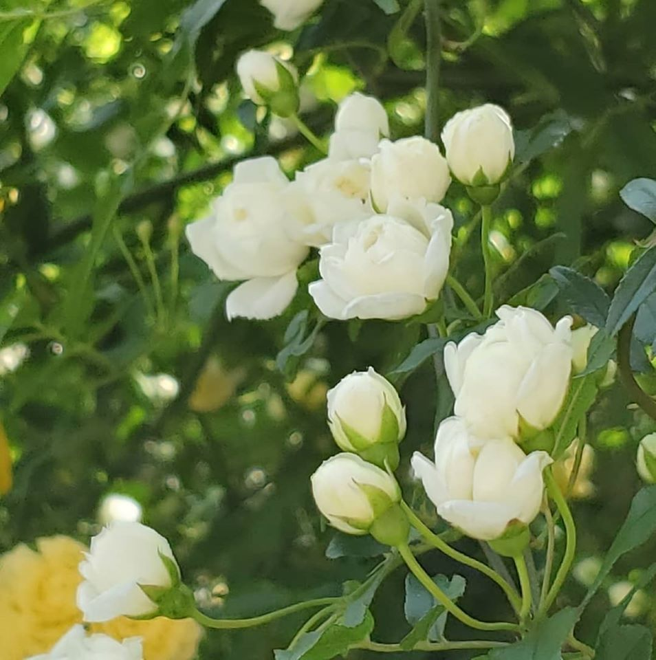 緊急事態宣言9日目。。。4月16日は。。。もっこう薔薇優しく微笑んで。。。天国の息子 LUCA 康司の お誕生日です。。。☆*+☆+☆*。。。 *。:☆.。†_a0053662_00031397.jpg