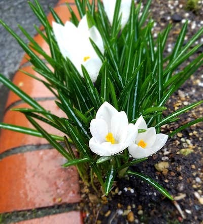 札幌は大快晴!我が家の可愛いクロッカスが花開きました(^^)_a0293265_16514241.jpg