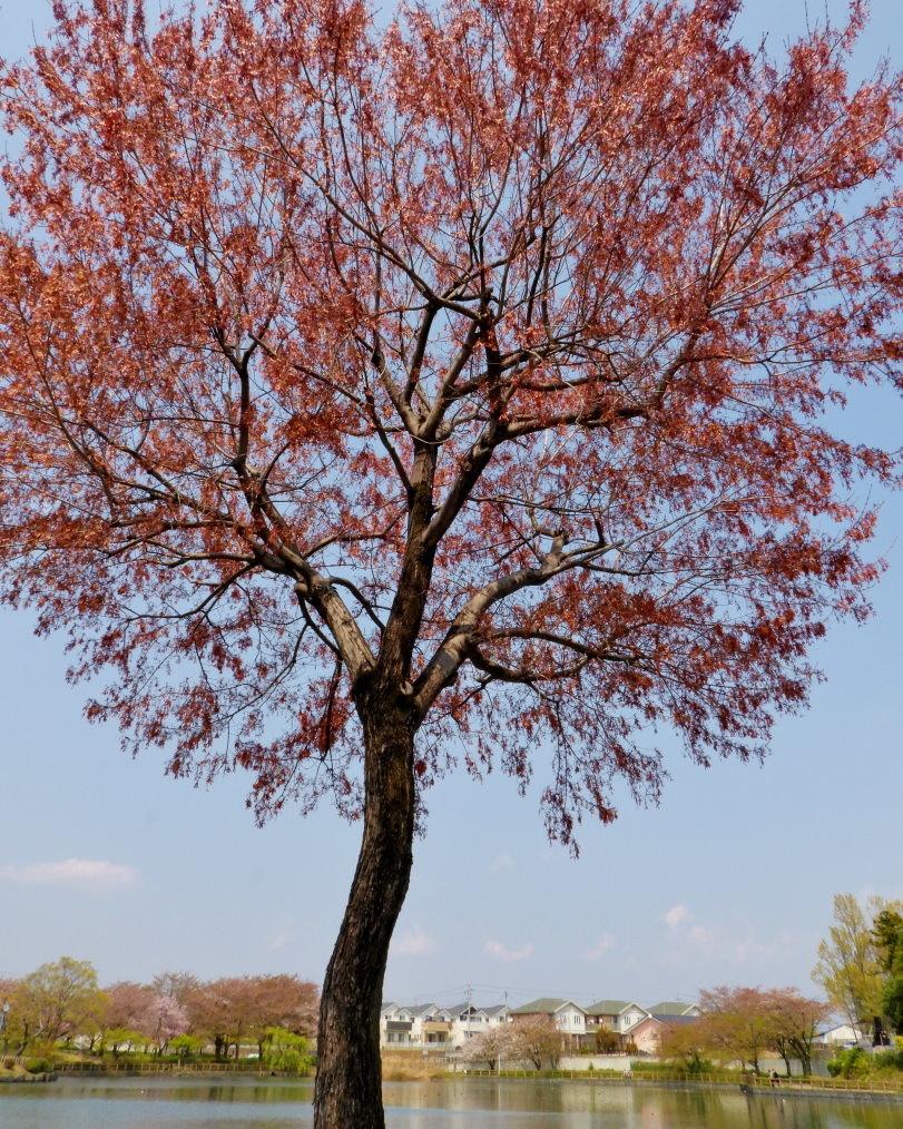 三ツ寺公園で カモ・樹・タカ など_c0305565_17285411.jpg