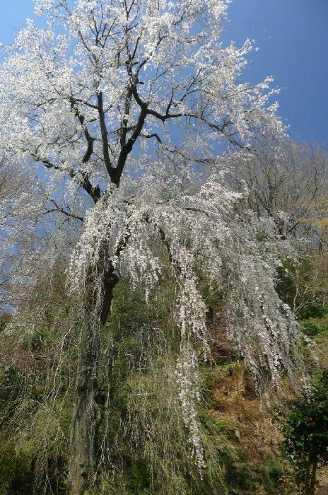 浄福寺の桜_a0120774_23540848.jpg