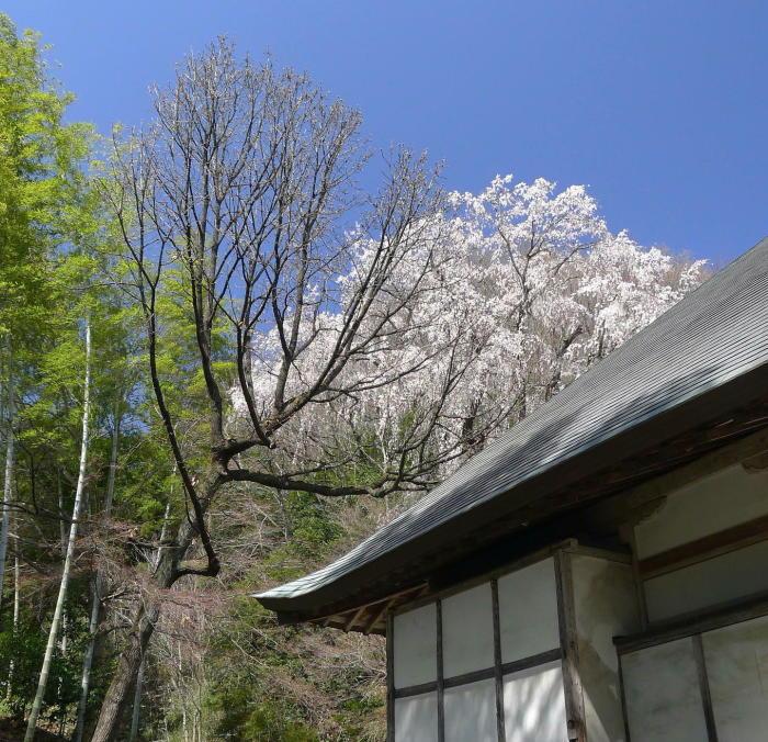 浄福寺の桜_a0120774_23542025.jpg