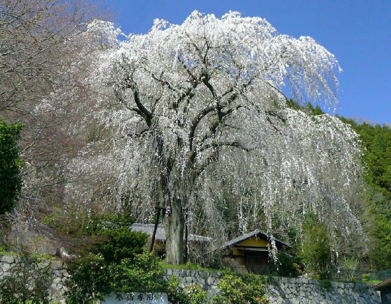浄福寺の桜_a0120774_23542311.jpg