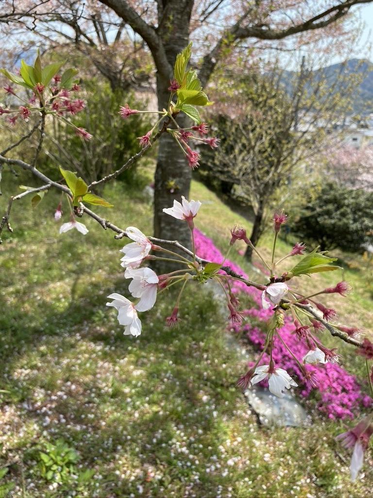 裏山の桜だより⑦ 2020 〜名残の桜をウグちゃんと〜_c0334574_19354732.jpeg