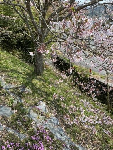 裏山の桜だより⑦ 2020 〜名残の桜をウグちゃんと〜_c0334574_19370748.jpeg