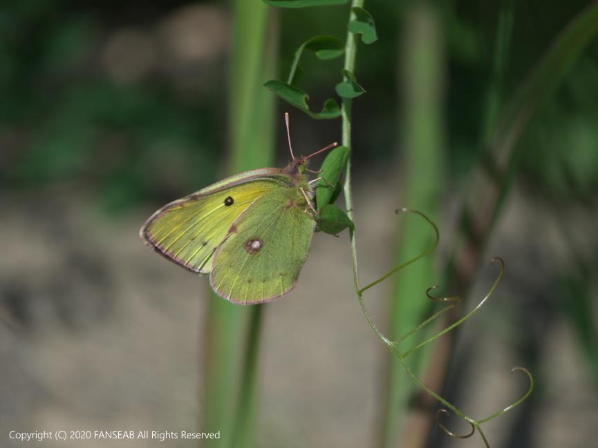 黄色型モンキチョウ♀(4月中旬)_f0090680_16222311.jpg
