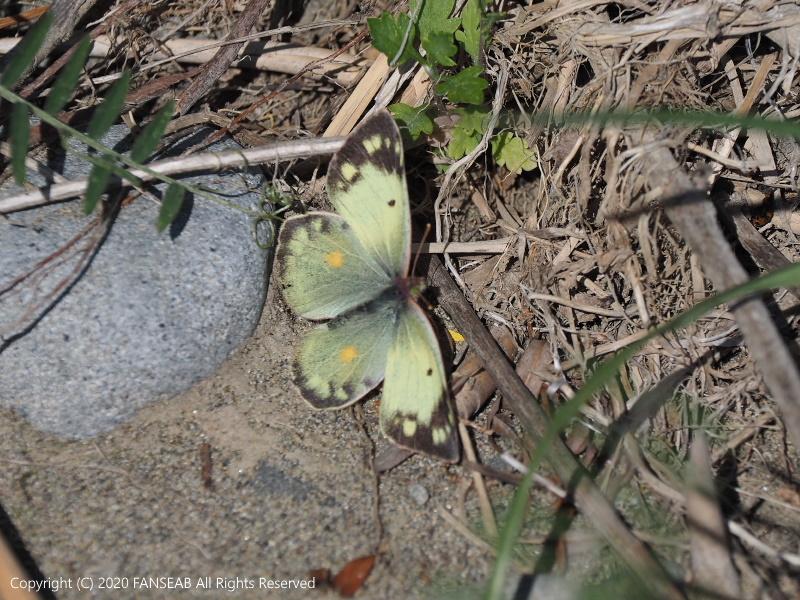 黄色型モンキチョウ♀(4月中旬)_f0090680_16225719.jpg