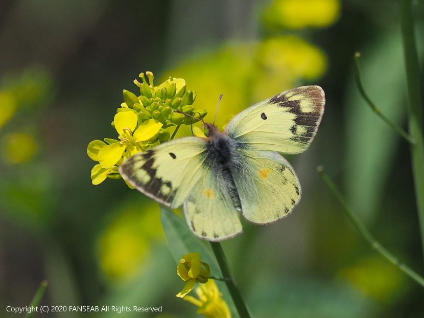 黄色型モンキチョウ♀(4月中旬)_f0090680_16232817.jpg