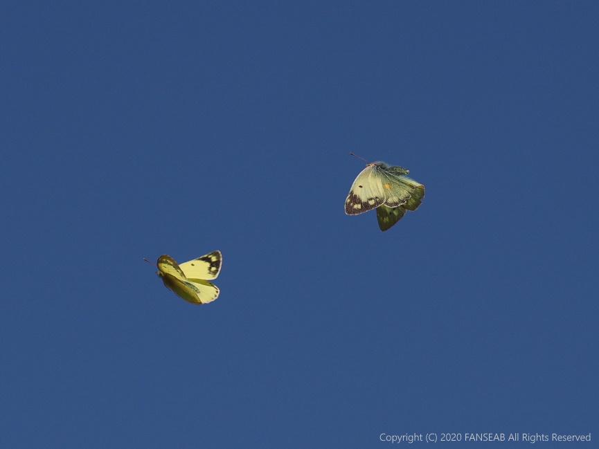 黄色型モンキチョウ♀(4月中旬)_f0090680_16244094.jpg