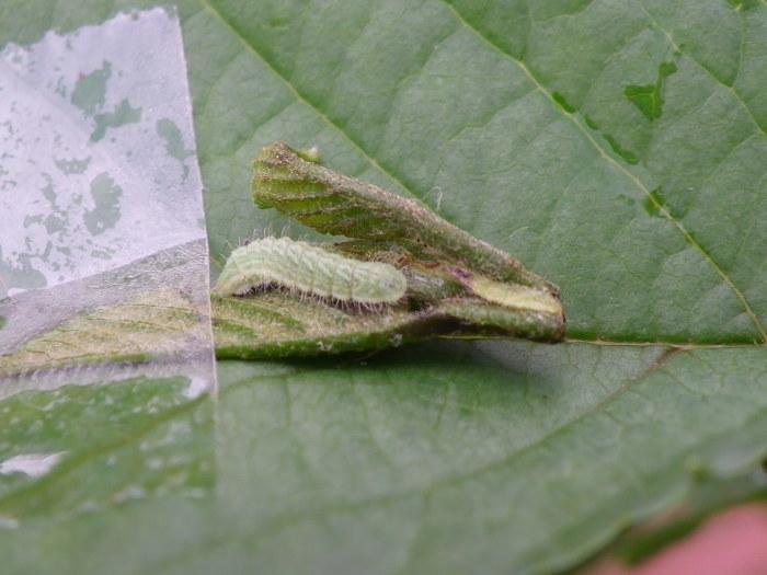 ミドリシジミ(幼虫) 4月18日_d0254540_19294952.jpg