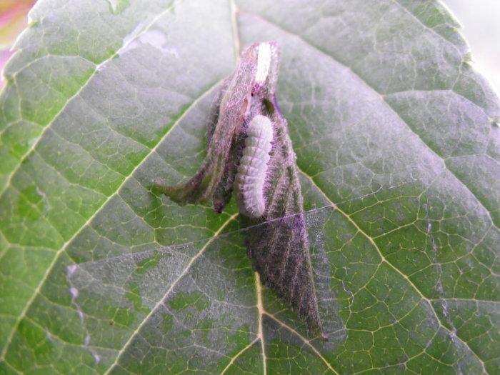 ミドリシジミ(幼虫) 4月18日_d0254540_19310515.jpg