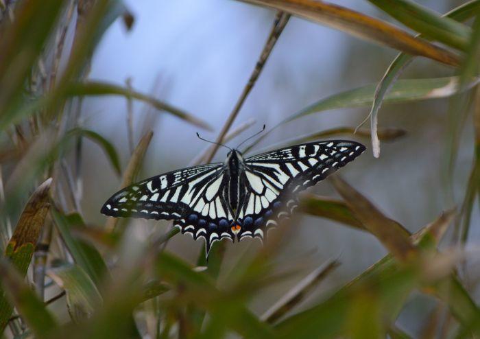 ミドリシジミ(幼虫) 4月18日_d0254540_19351600.jpg
