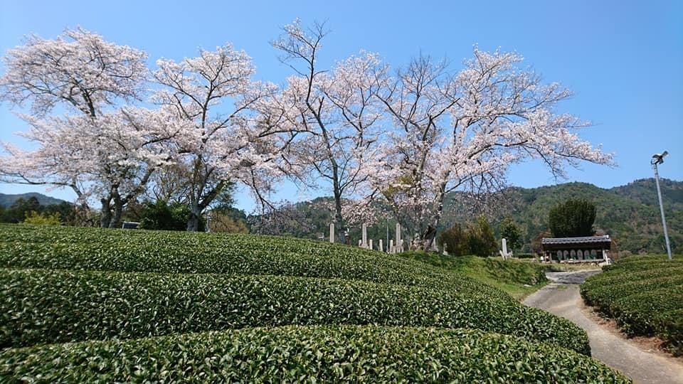 和束の桜_b0202651_20411779.jpg